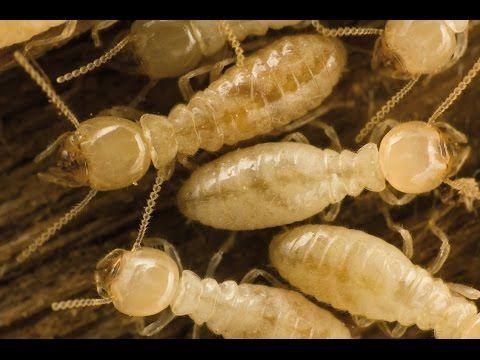 Como Acabar Con Las Termitas Pin En Termitas