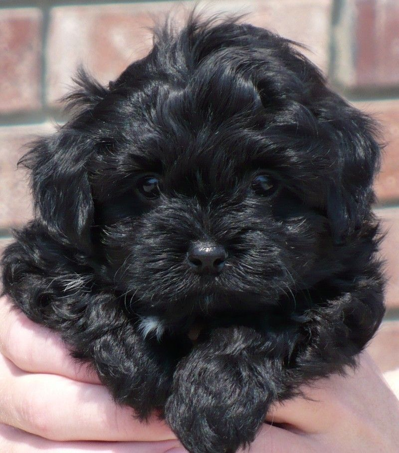 How Much Do Havanese Dog Cost References