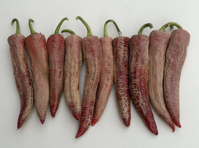 Benämning pånågra andra språk danska/norska/finska/engelska/tyska Chilipeber / Chili-Pepper / Turkinpaprika / Hot peppers / ChiliVetenskapligt namnCapsicum annuum ekologiskt odlat frö SortbeskrivningSkördefärdig efter ca 135 dagar efter sådd.En mycket speciell sort som som ger frukter som är 15-18 cm långa, ca 3 cm i fästet, med vikt: 50-80 ...