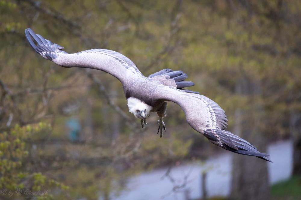 flying griffon vulture | Vulture, Big bird, Animals