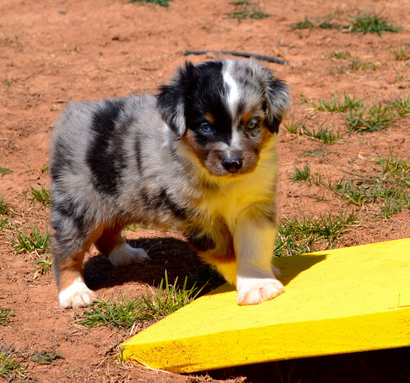Color Country Aussies Puppy Www Colorcountryaussies Com Puppies Animals Dogs