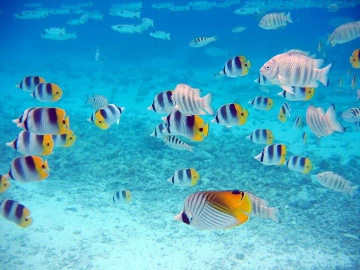 Fonds Marins Poissons Papillons Fond Marin Sous La Mer Aquatique