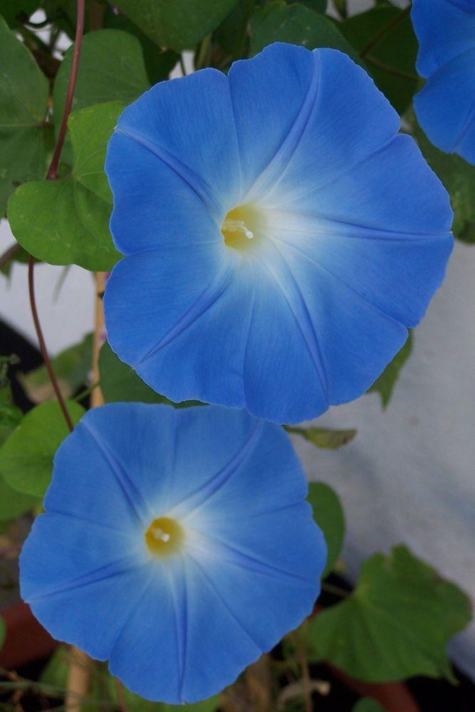 Ipomoea Purpurea Heavenly Blue Morning Glory Seeds 30 Hh Annual Bunga