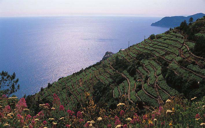 Corniglia e le terrazze delle Cinque Terre, Liguria - © Walter ...