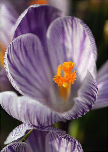 Krokusse, Blumen, Krokus, Crocus, Schwertliliengewächse, Blüten, offener Blüte, Blume, Frühling, Frühlingszeit Crocuses, Crocus flowers , Crocus, Iris plants, flowers, open flowers, flower, spring, spring time