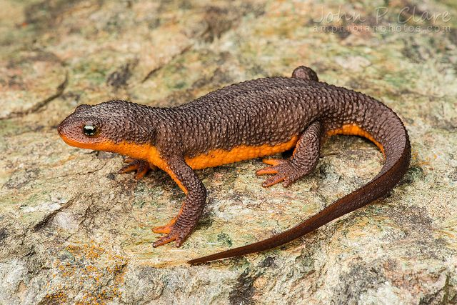 California Newt Taricha Torosa Newt Animal Animals Amphibians