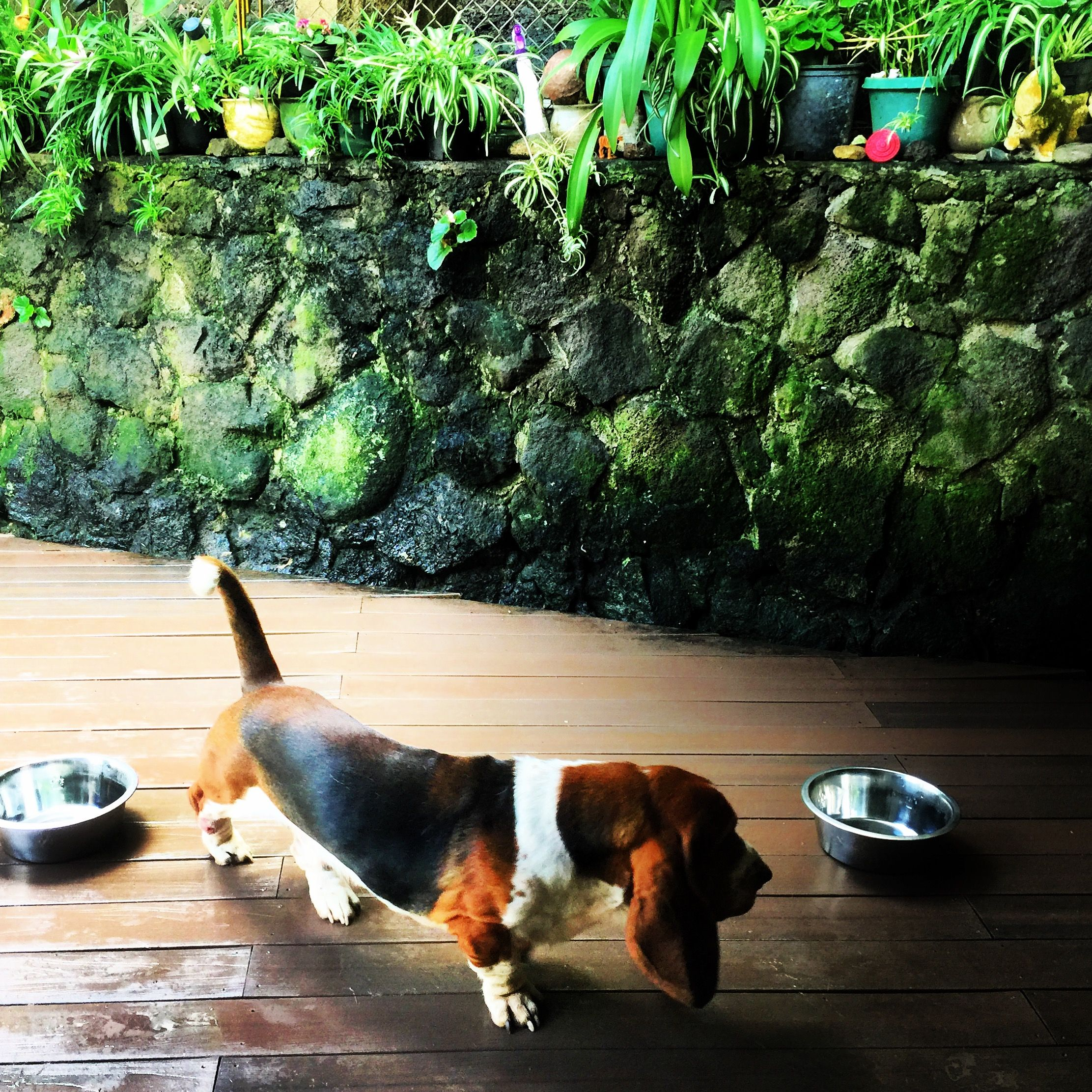 Orlando Basset hound, Hound