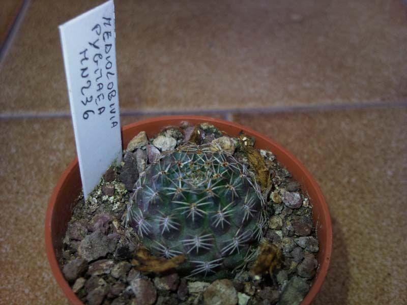 Mediolobivia pygmaea MN236 della famiglia delle Cactacee