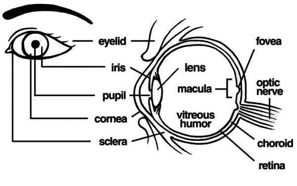 The Anatomi Of Human Eye Coloring Pages : Bulk Color   Eye ...