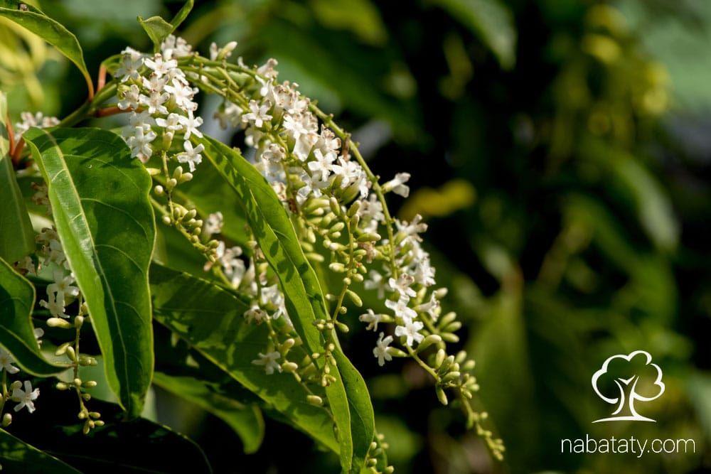 الياسمين الاسترالي او سندروس شجرة خارجية جميلة ورائحة أزهارها البيضاء أجمل تتحمل حرارة الصيف بشكل ممتاز تعرف على طريقة العناية بها على نبا Plants Grapes Fruit