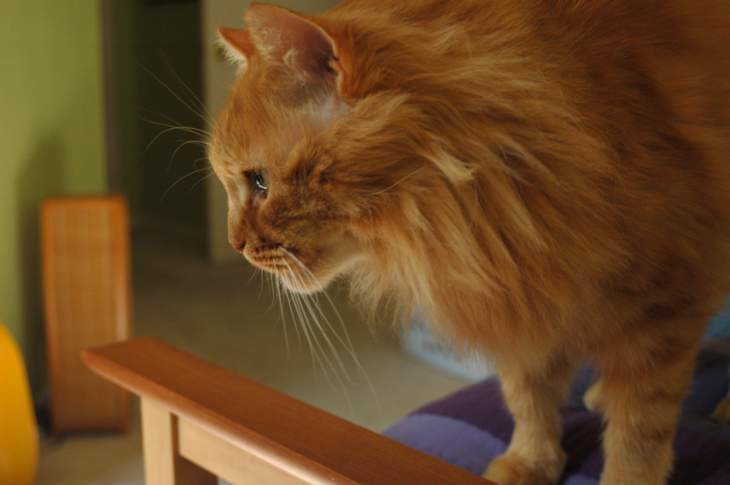 Orange Tabby Norwegian Forest Cat Kittens Cutest Norwegian Cat