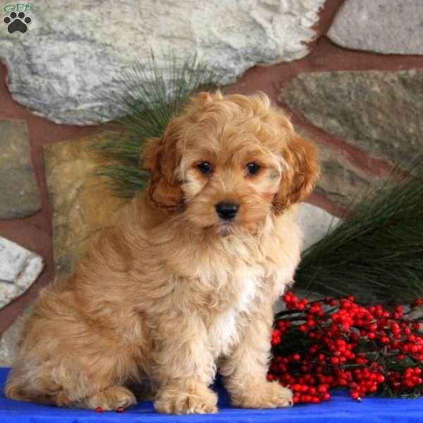 Lady Cockapoo Puppy For Sale in Pennsylvania Cockapoo