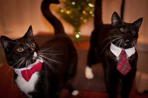 [Image: A photo of two tuxedo cats with white feet, each wearing a collar that looks like a shirt collar with a tie attached.  One has a red...