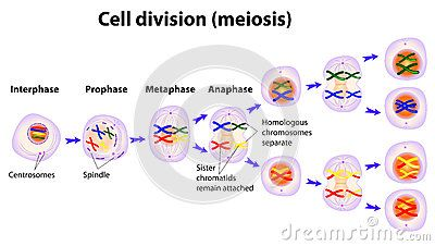 Vector Diagram Of The Meiosis Phases Meiosis Vector Diagram