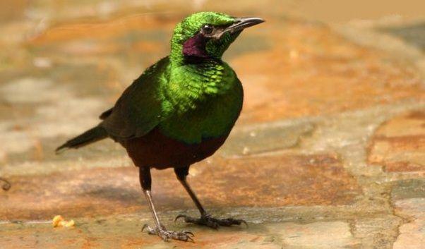 Sáo Bích vùng Tây Phi - Emerald starling/Iris glossy starling (Lamprotornis iris)(Sturnidae) IUCN Red List of Threatened Species 3.1 : Data Deficient (DD)(Loài thiếu dữ liệu: do bất ổn và chiến tranh kéo dài)