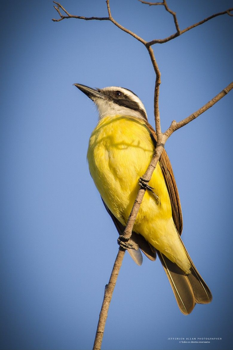 The great kiskadee (Pitangus sulphuratus) is a passerine bird. It is a large tyrant flycatcher.It breeds in open woodland with some tall trees, including cultivation and around human habitation, mainly found in Belize, and from the Lower Rio Grande Valley in southern Texas and northern Mexico south to Uruguay.