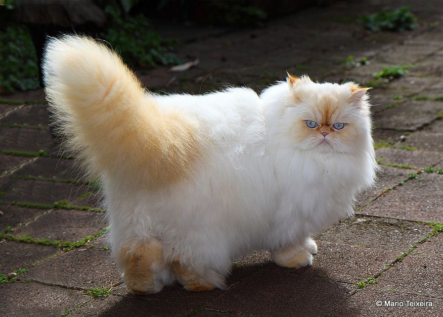 Red Point Himalayan Cat. This was what my cat used look
