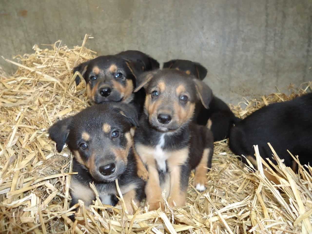 Border Collie X Kelpie Puppies Abergele Conwy Pets4homes