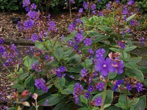 Orelha-de-Onça (Tibouchina grandifolia)  Nome botânico: Tibouchina grandifolia Cogn.  Nome popular: orelha-de-onça  Família: Angiospermae – Família Melastomataceae  Origem: nativa brasileira