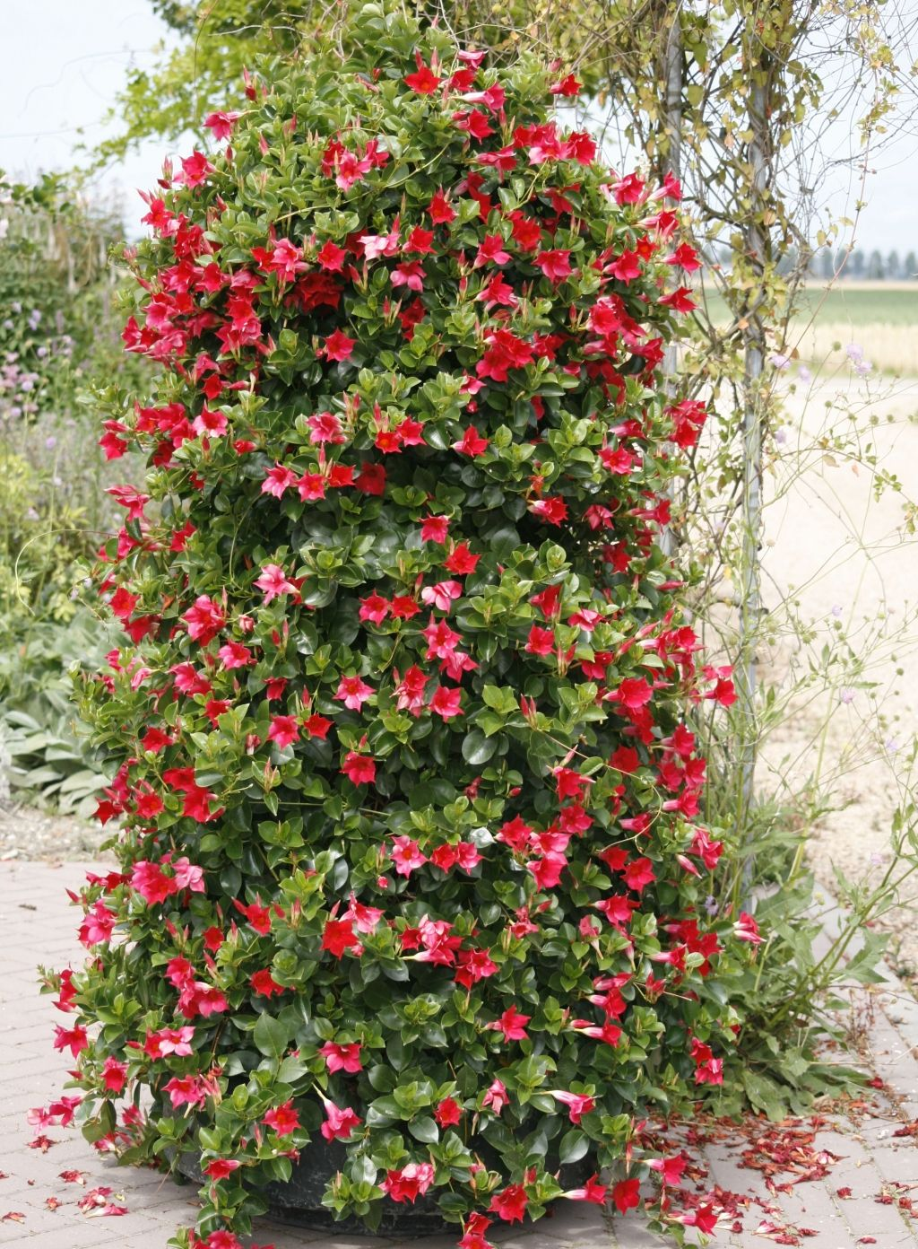 Mandeville flowers outside boxes containers more - How to plant a flower garden for dummies ...
