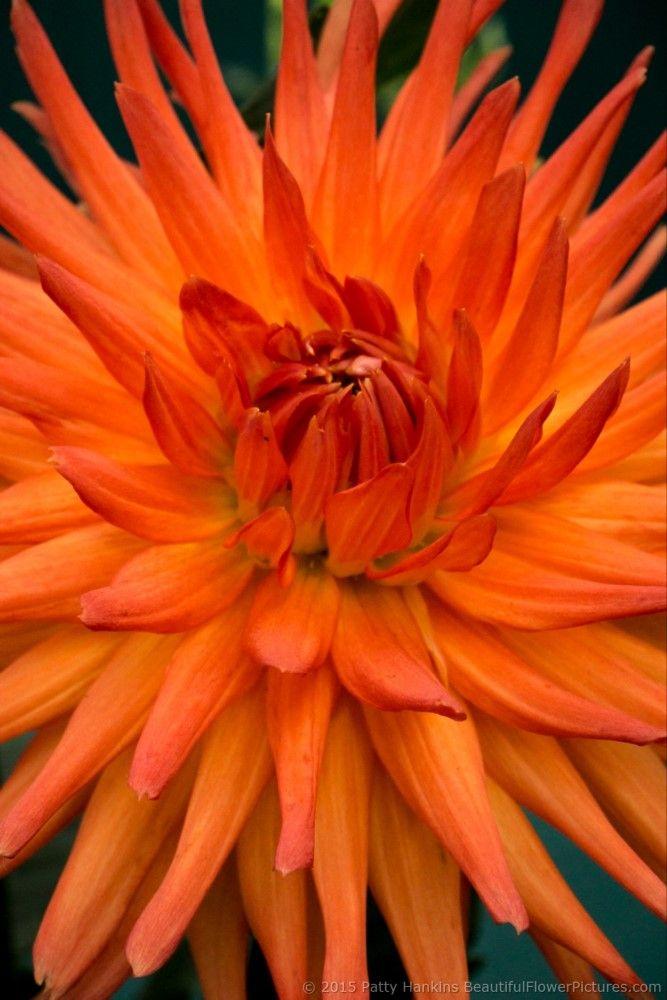 Dahlias 2015 Part 4 Dahlia Flower Images Plant Care