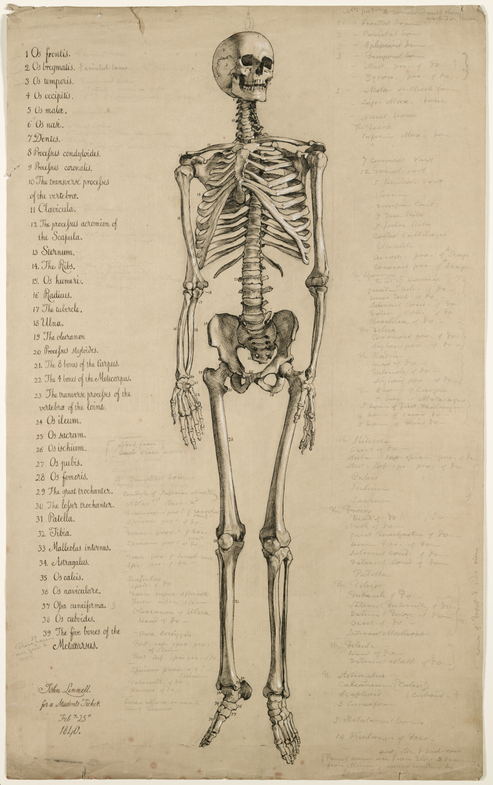 Anatomical Drawing Of A Human Skeleton England 1840 Attributed To
