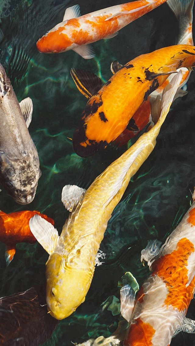 Fish Water Animal Swim Iphone 5s Wallpaper Koi Wallpaper Fish Wallpaper Fish Wallpaper Iphone