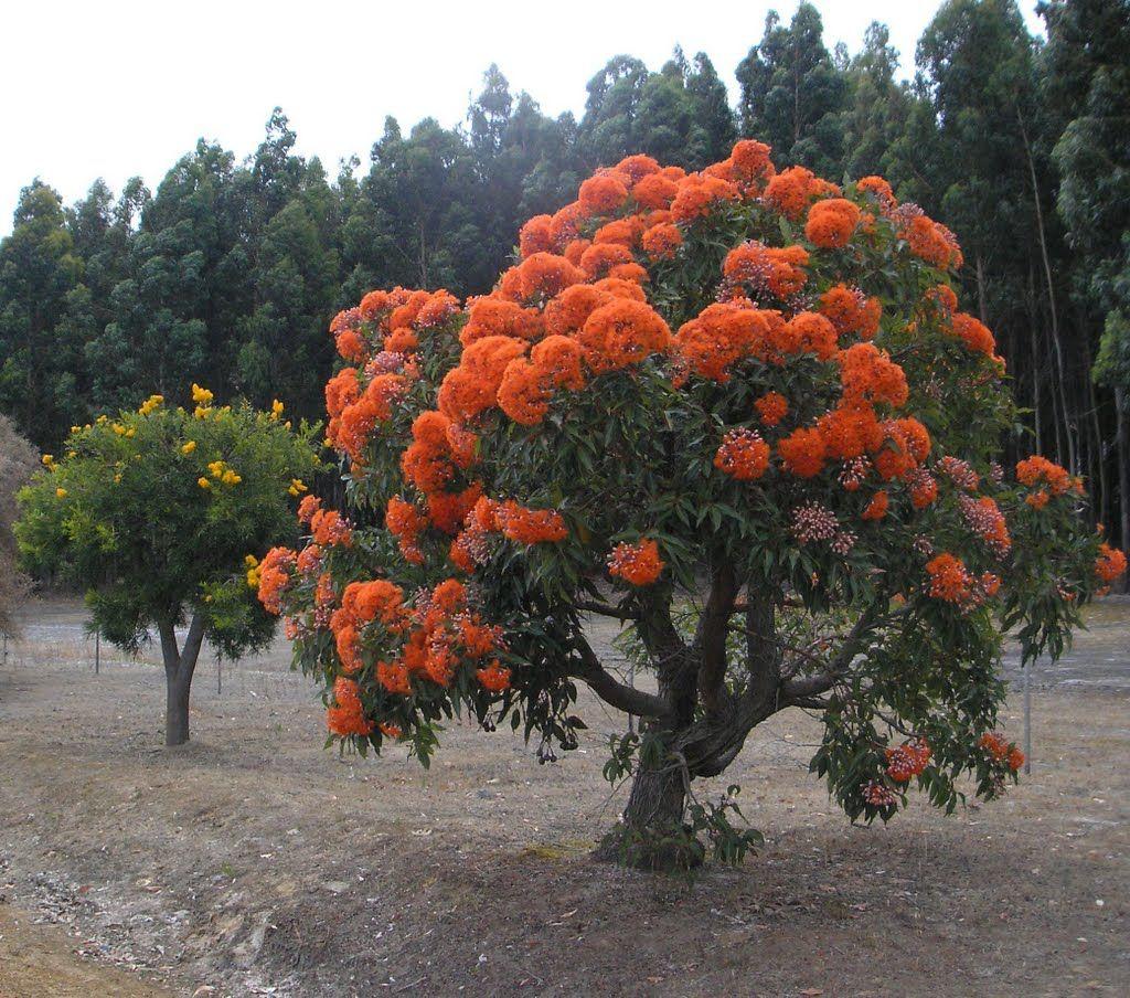 Orange Flowering Gum Tree (On a cloudy day). Kalgan WA