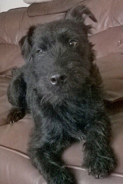 Seth The Patterdale Patterdale Terrier Dogs And Puppies Pet Life