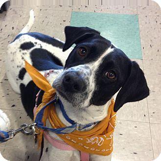 Schaumburg, IL - English Pointer. Meet Rosie, a dog for adoption. http://www.adoptapet.com/pet/15310097-schaumburg-illinois-english-pointer