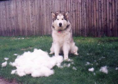 Information About Malamute Shedding And Care Malamute Dog