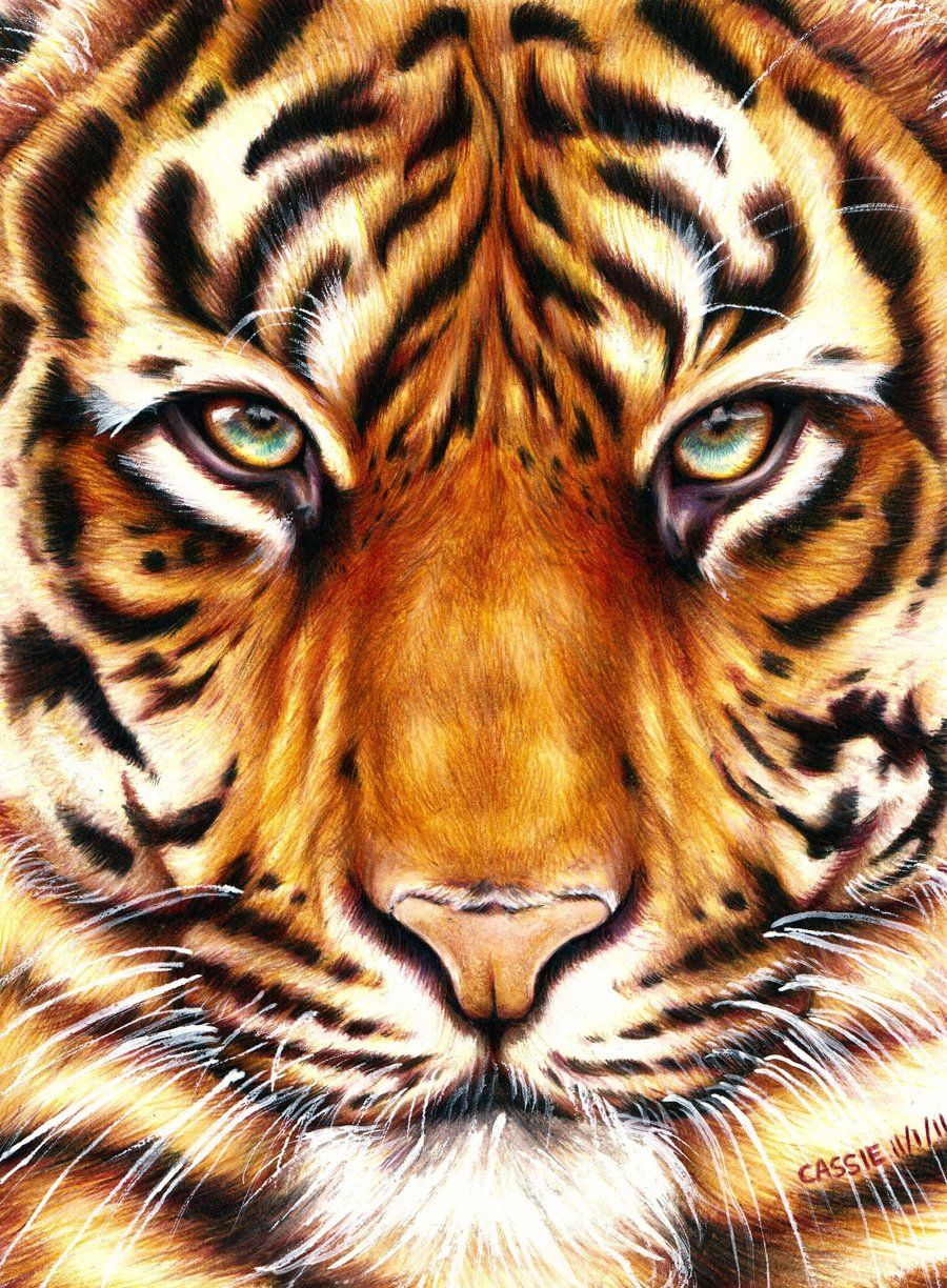 Color Tiger Face Drawing : color, tiger, drawing, Amazing, Animal, Drawings, Great, Pencils, Drawings,, Tiger, Drawing