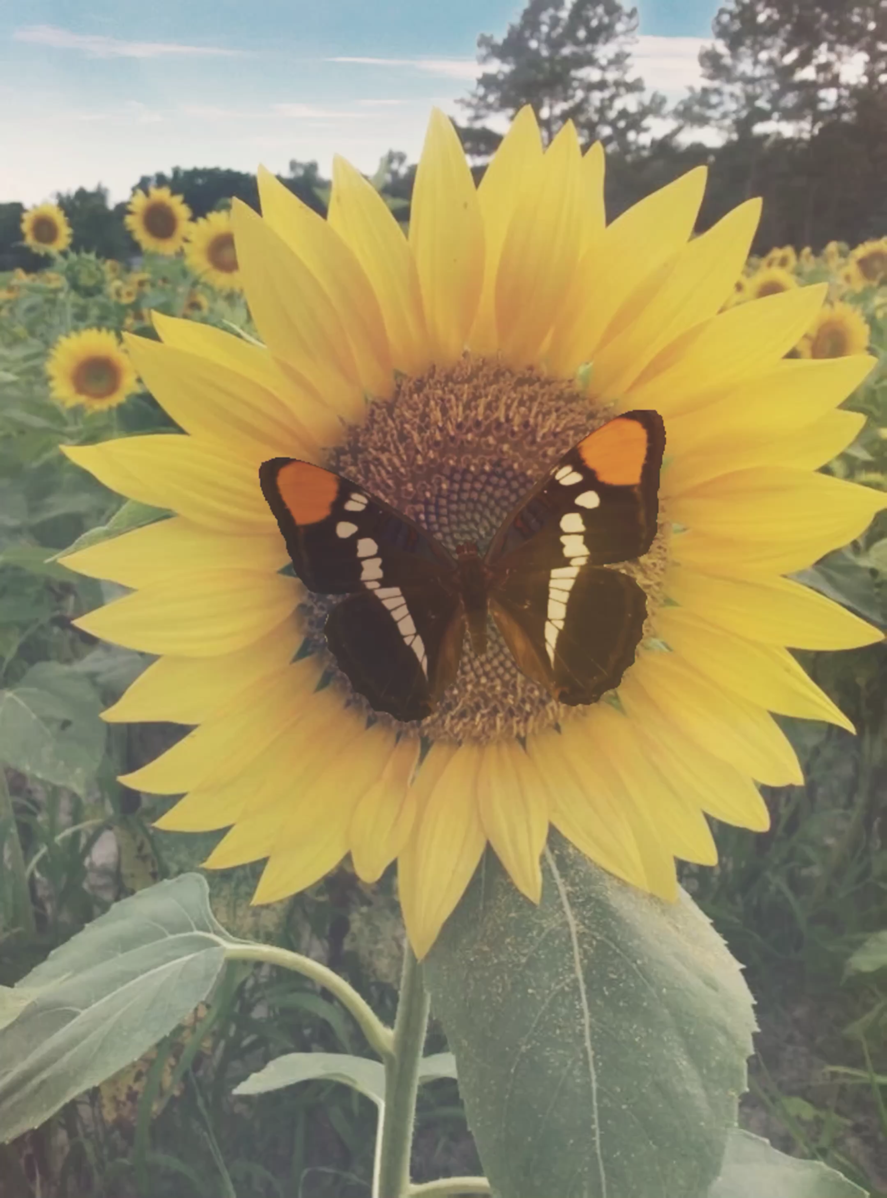 Wie schön doch unsere Natur ist, eine Liebe die nie vergeht.🌻 #Sonnenblumen #Video