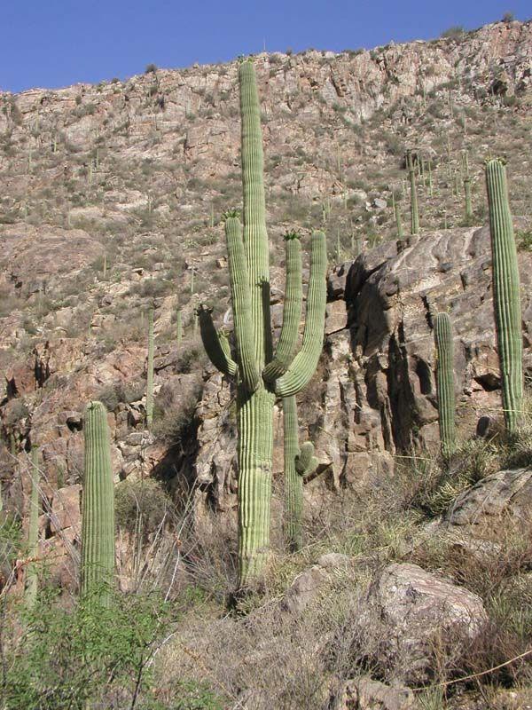 cactus natural habitat - Αναζήτηση Google   Cactus habitat