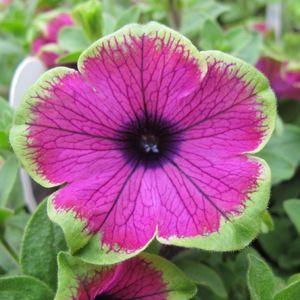Petunia Supertunia Pretty Much Picasso Buy Petunia Annuals Online Petunia Flower Petunias Petunia Plant