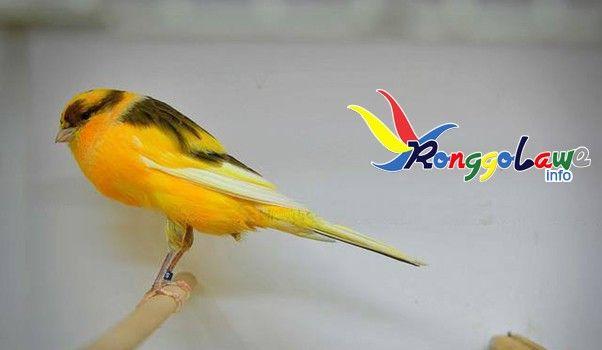 Download Suara Kicauan Burung Kenari Ys Yorkshire Burung Kenari
