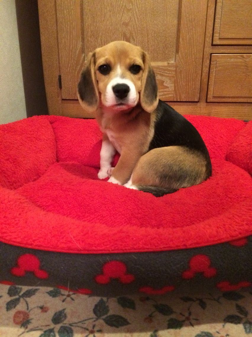 Beagles Look Great In Red Beds Baby Beagle Beagle Dog Beagle