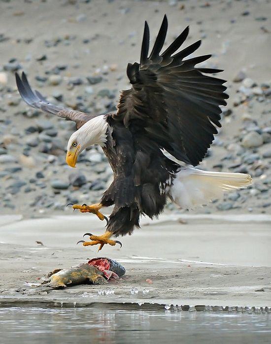Eagle Talon Bird : eagle, talon, Shock, Mansion, Eagle, Eagles,