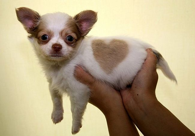 Chihu With Love Heart Chihuahua Puppies Chihuahua Dogs Cute