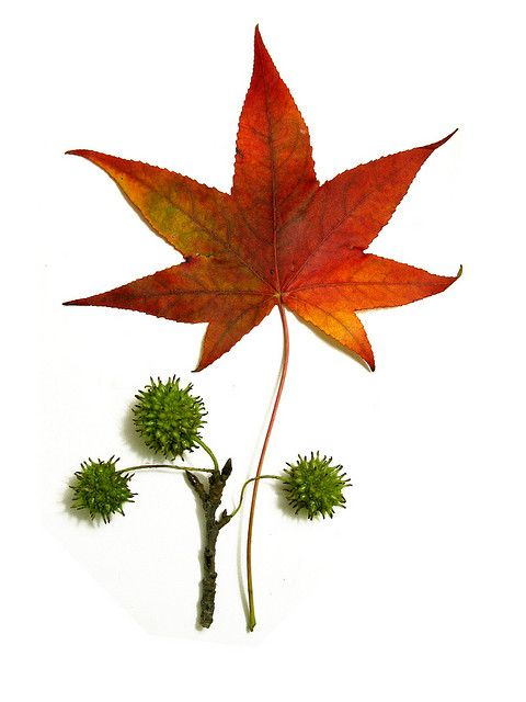 Liquidambar Styraciflua Sweetgum Fall Leaves Botanical Drawings Leaves Autumn Leaves