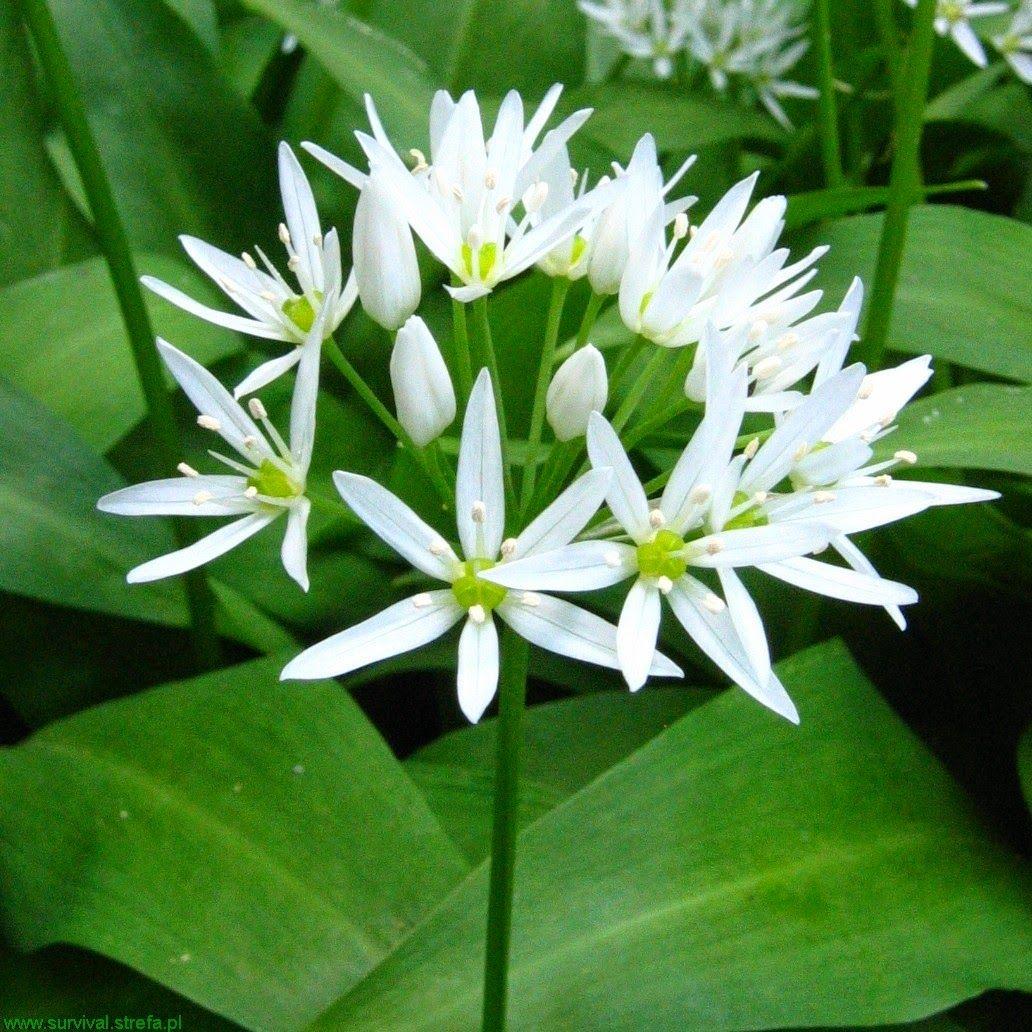 Czosnek Niedzwiedzi Allium Ursinum Kwiat Allium Herbs Herb Garden