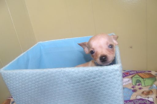 Chihuahua Puppy For Sale In Paterson Nj Adn 30478 On Puppyfinder