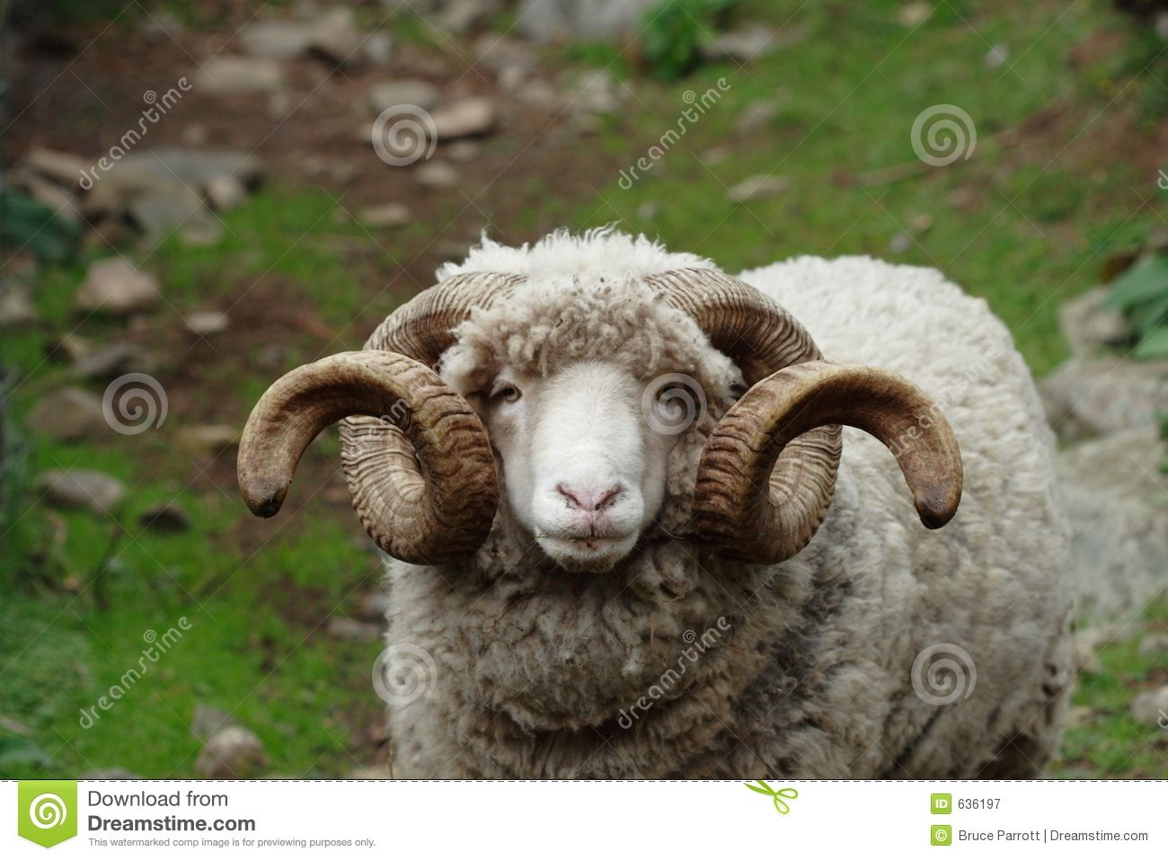 44 best sheep images on pinterest sheep animals and farm animals