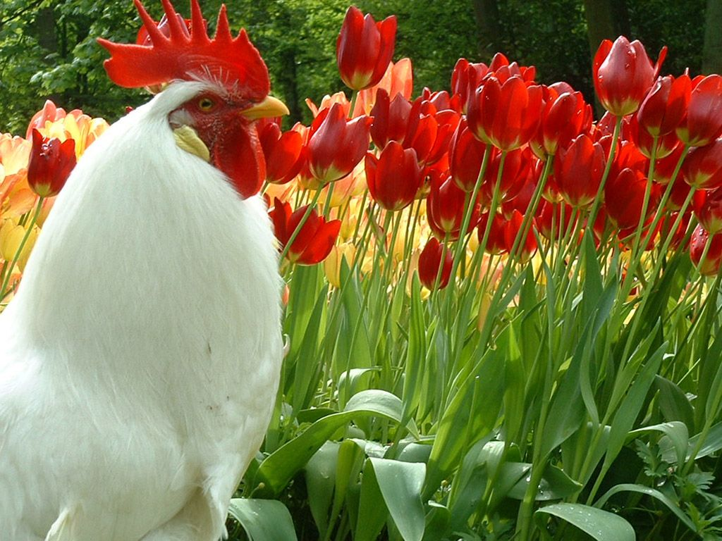 rooster and tulips