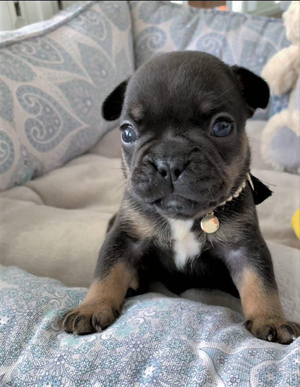 Tiny Black Tan Male French Bulldog Puppy French Bulldog