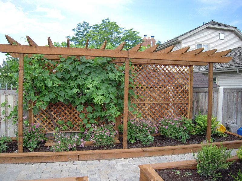 Trellis for a grape vine and screen from the neighbor for Lattice yard privacy screen