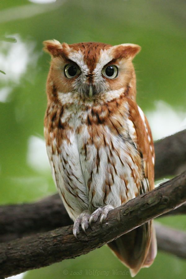 eastern screech owl | Eastern Screech-Owl Otus Asio photo ...