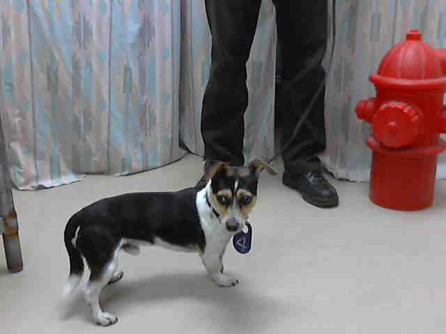 What An Adorable Rat Terrier Mix Harris County Public Health And Environmental Services Rat Terrier Mix Animal Shelter Humane Society