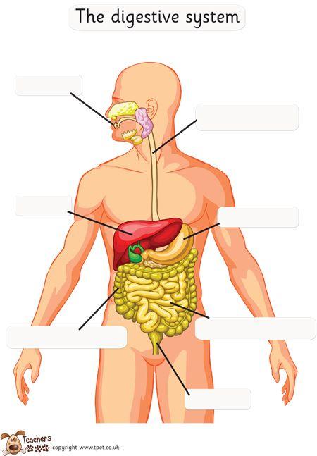 Teacher U0026 39 S Pet - Digestive System