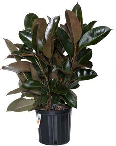 ficus elastica decora ficus burgundy robusta indoor plant info pinterest plants ficus. Black Bedroom Furniture Sets. Home Design Ideas